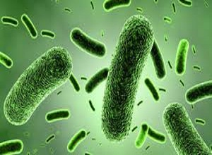 Men vi sinh Bifidobacterium lactis - (LAA) (1x10^11 CFU/g)