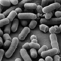 Men vi sinh Lactobacillus plantarum - (PL) (1x10^11 CFU/g)