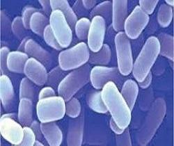 Men vi sinh Lactobacillus helveticus - (PM) (1x10^10 CFU/g)