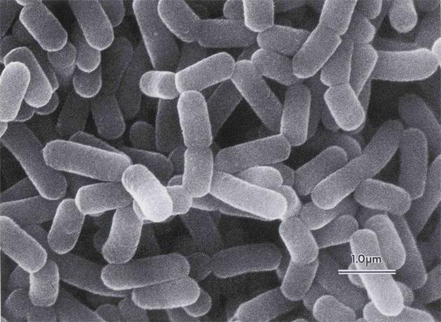 Men vi sinh Lactobacillus casei - (CA) (1x10^11 CFU/g)