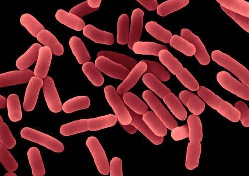 Men vi sinh Bacillus indicus