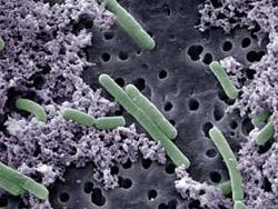 Men vi sinh Lactobacillus Kefir